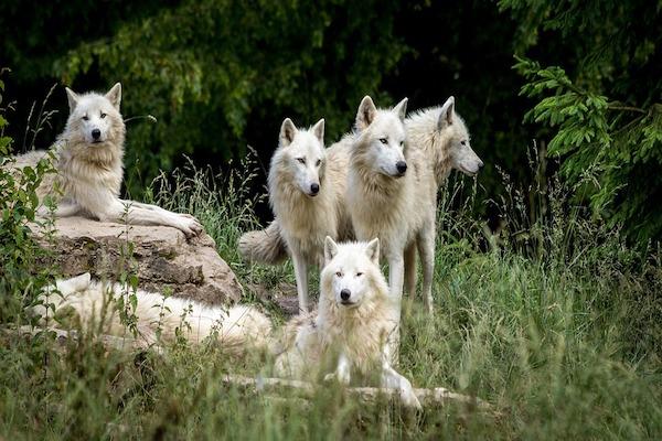 Perché i cani non somigliano ai lupi?