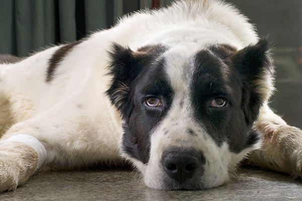 Acilen per cani: cos'è, a cosa serve e tutte le informazioni utili