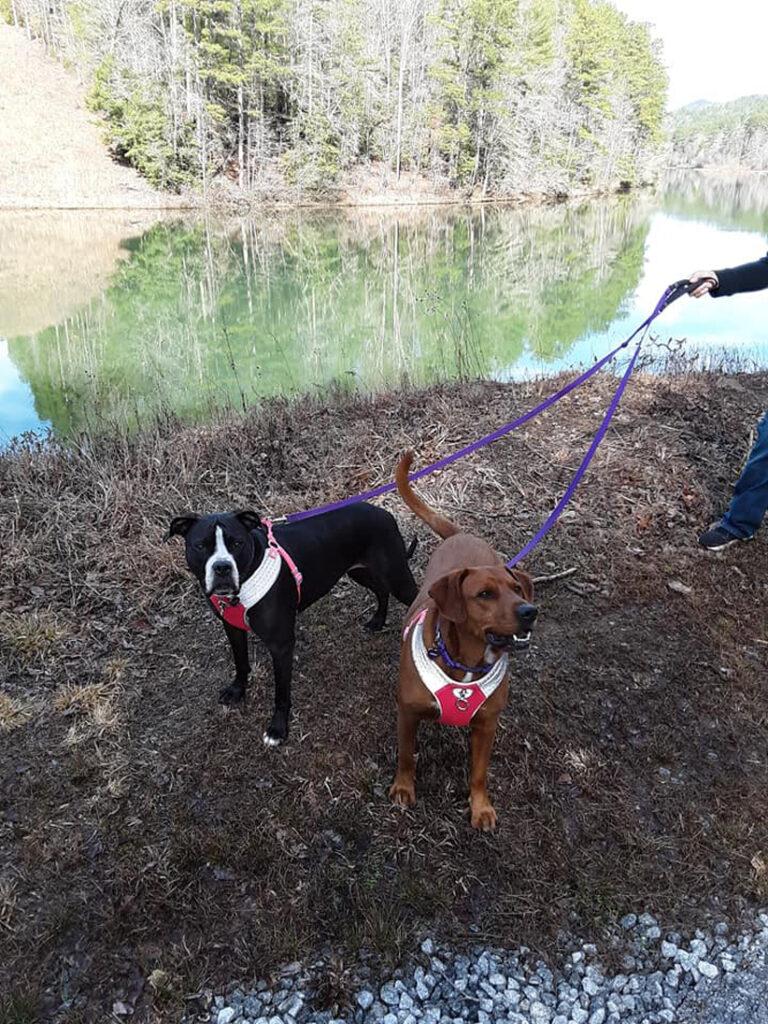 Due cani al guinzaglio