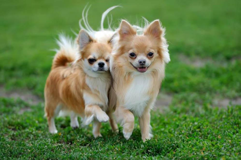 Due cani chihuahua