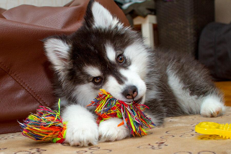 cane che morde gioco