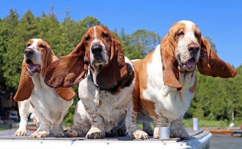 tre esemplari di Basset Hound