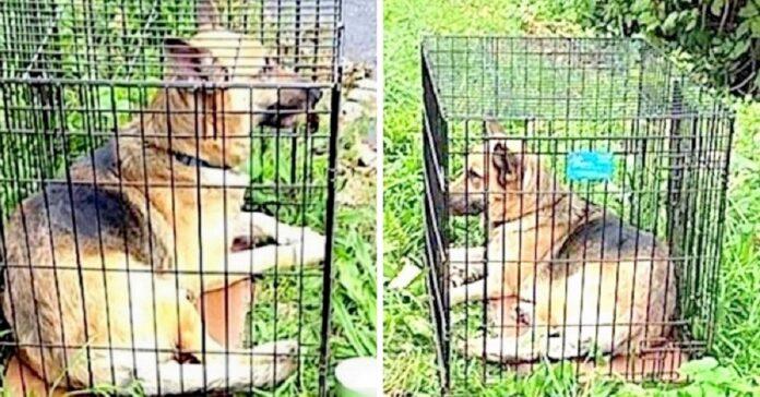 cane-abbandonato-sotto-il-sole-cocente-dentro-una-gabbia-in-ferro