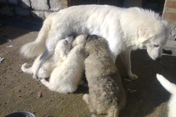 Mamma cane non ha più latte: quando (e cosa) succede