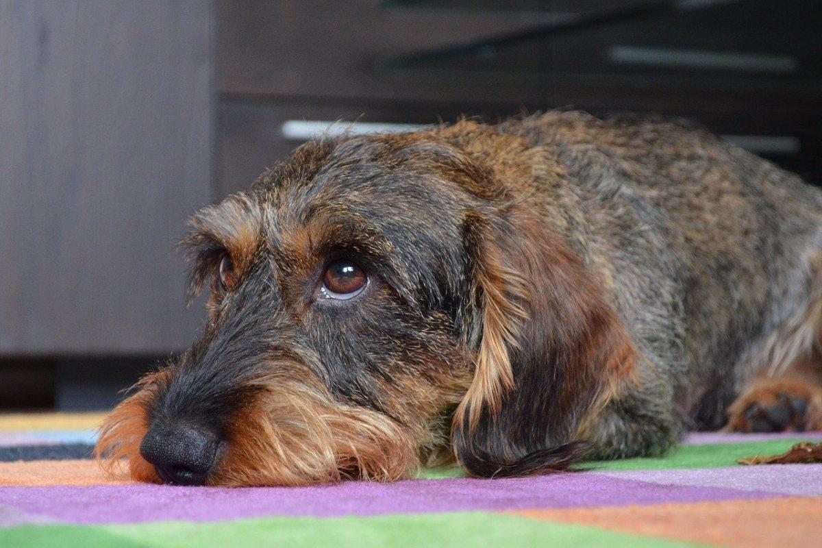 cane con il pelo lungo sul muso