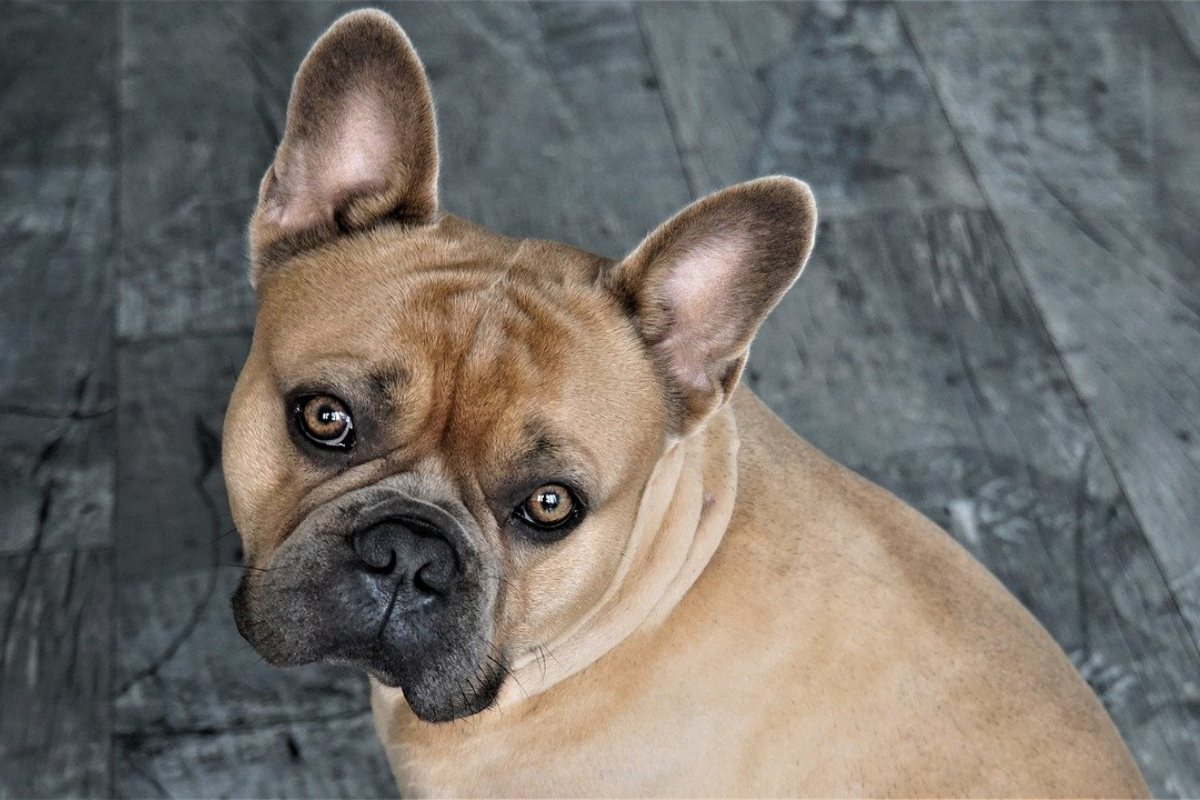 bulldog color miele
