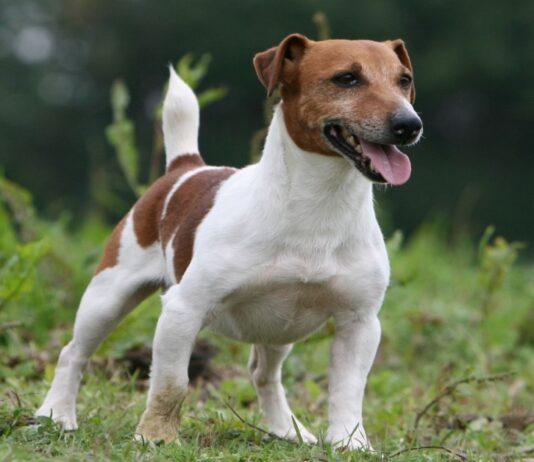 segnali di dominanza del cane, quali sono