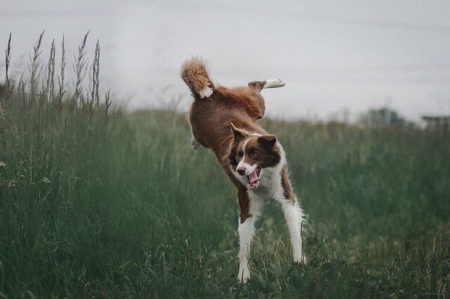 cane che salta su un prato