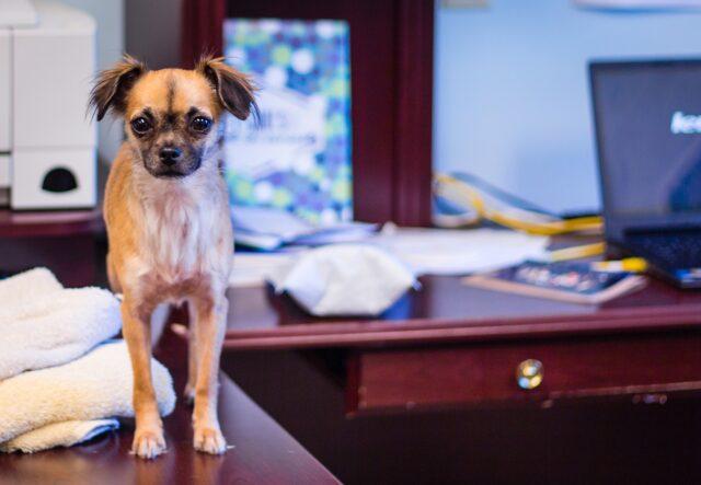 cane sopra la scrivania