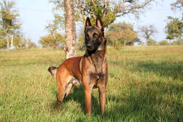 Cani con l'olfatto più sviluppato: tutte le razze