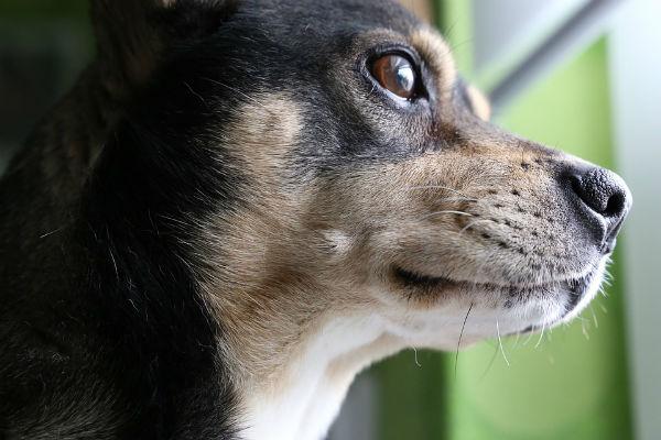"""Cani concentrati sull'obiettivo: le razze che hanno bisogno di un """"lavoro"""""""