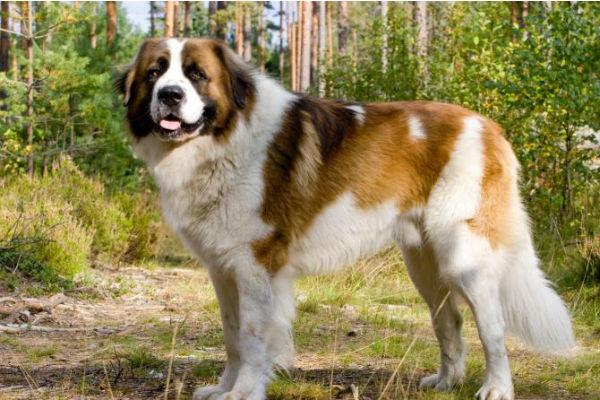 Cani grandi che si sentono cuccioli: ecco quali sono
