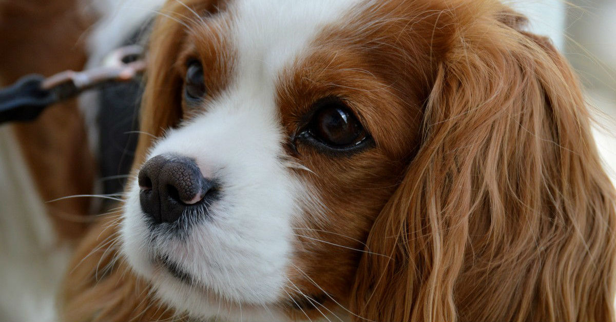 perdita di peso per il mio beagle