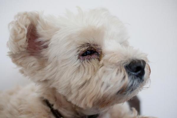 Cisti iridocillari del cane: cosa c'è da sapere?