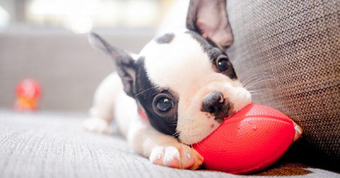 cane che mangia i calzini