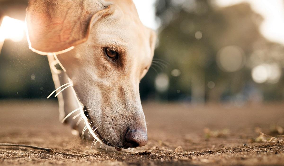 cane che segue le tracce olfattive