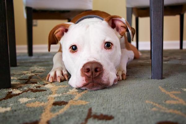 Perché il cucciolo di cane fa pipì anche dopo essere uscito?