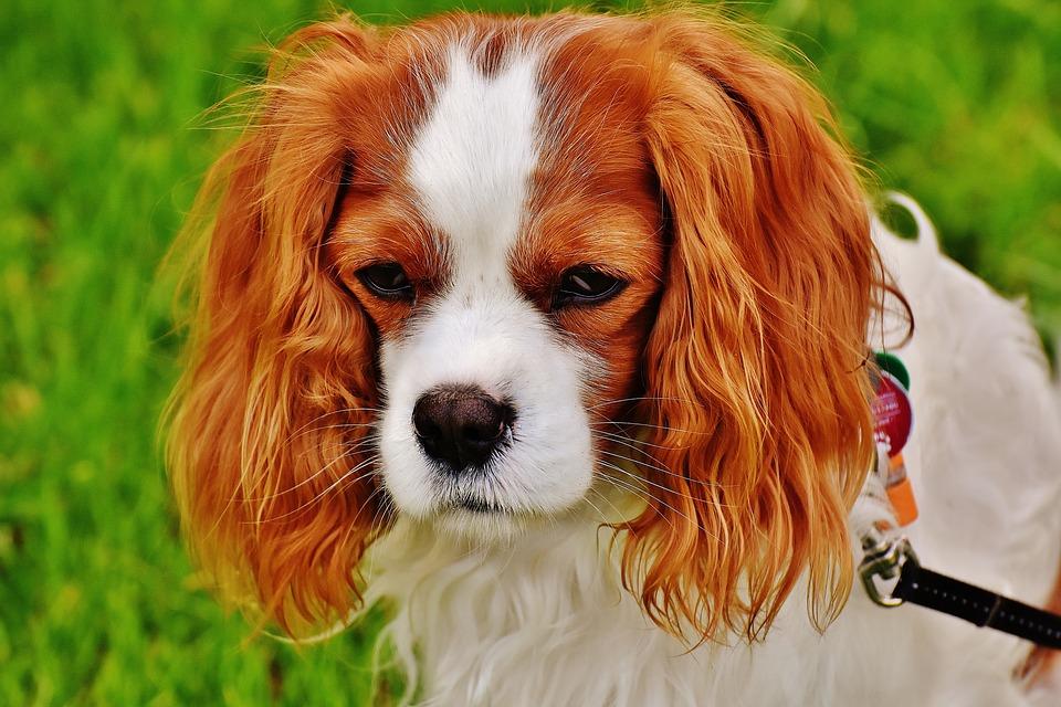 Stress e peli bianchi nel cane: c'è una connessione come per gli umani?