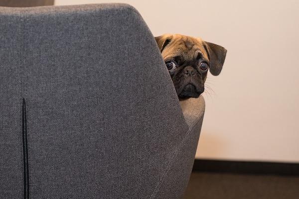 Il cane finge di seppellire il cibo prima di mangiare: che vuol dire?