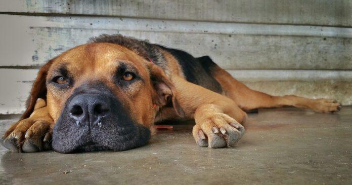 Antistaminici umani al cane: ecco se possono assumerli