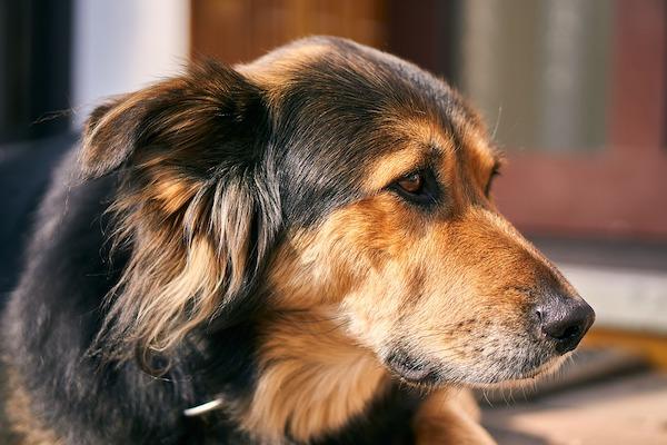 allergie orecchie cane