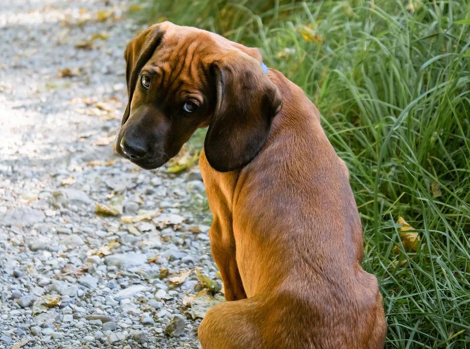 Cane di segno toro: caratteristiche, temperamento