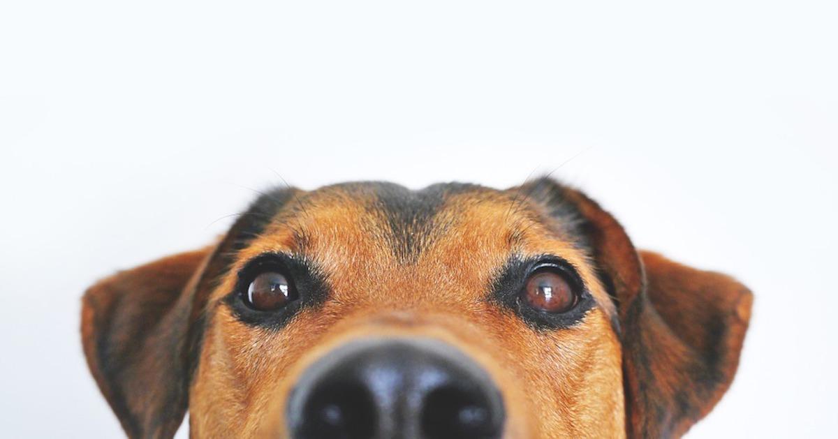 A che servono le sopracciglia dei cani?