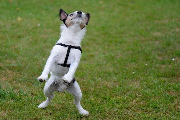 cane salta in alto