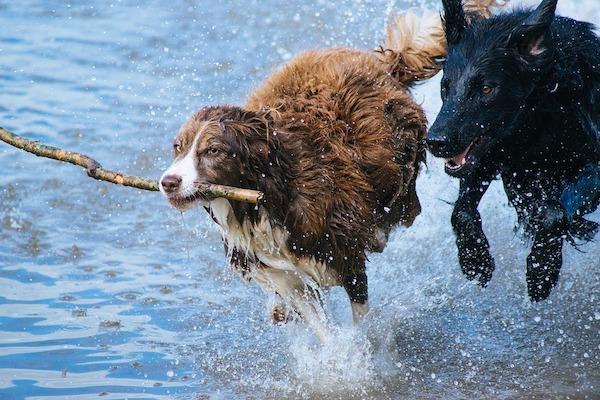 come far andare d'accordo cane anziano e cane giovane