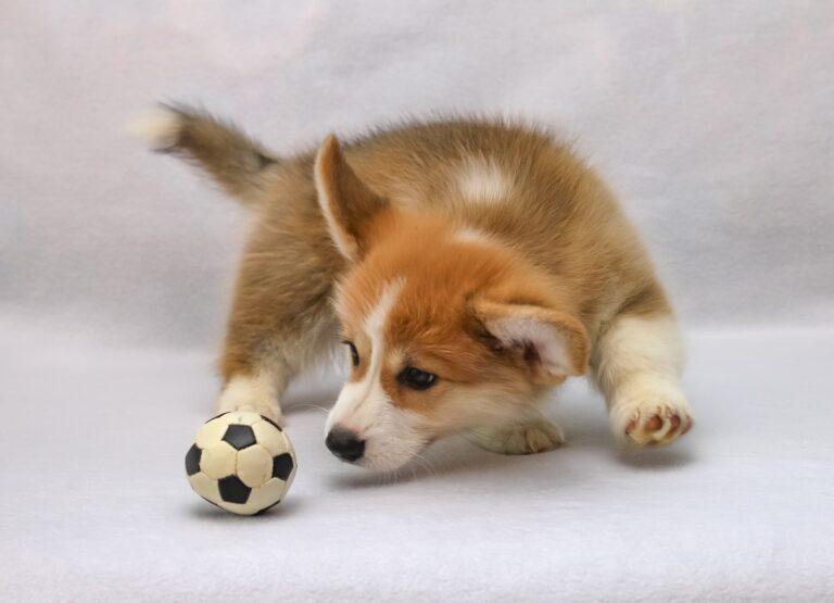 cucciolo di cane gioca con una pallina