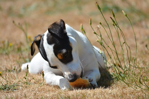 I cani possono mangiare la farina di frumento?