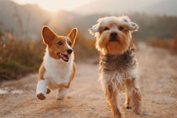 cani che corrono