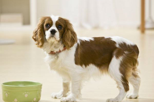 Il cane ha mangiato gli Oreo, è pericoloso? Cosa fare?