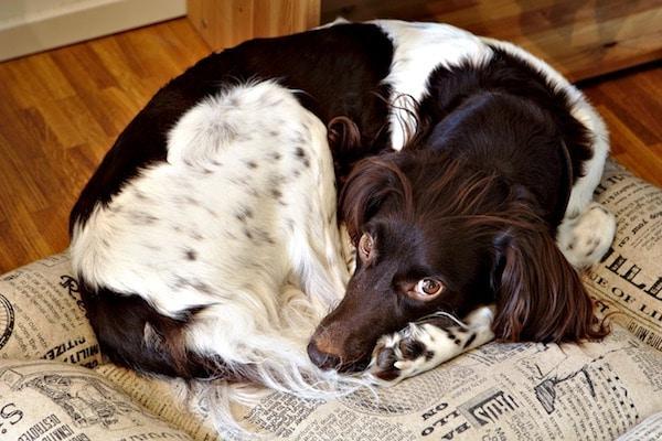 Il cane non dorme perché è nervoso : è possibile?