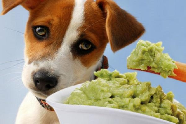 Il cane può mangiare il guacamole?