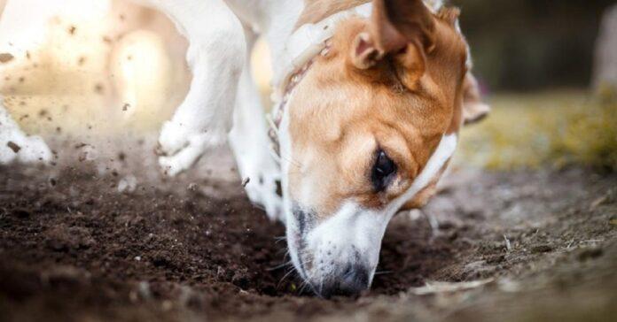 cane scava