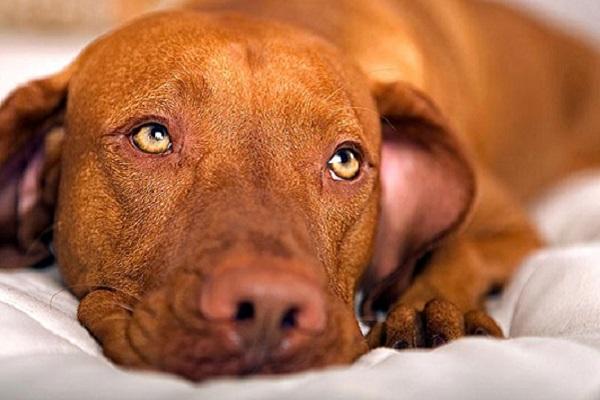 Malattia di Aujeszky nel cane: cos'è? Ci sono cure?