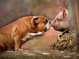 cane e maiale si odorano