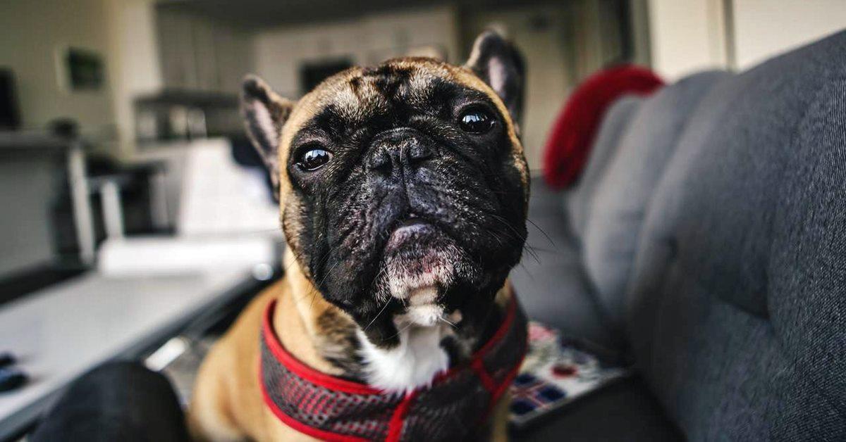 bulldog in casa