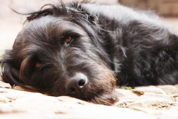 Ormoni della tiroide anomali nel cane: cosa succede?