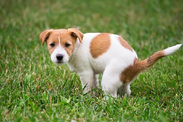 Helicobacter nel cane: sintomi, cause e cura dell'infezione