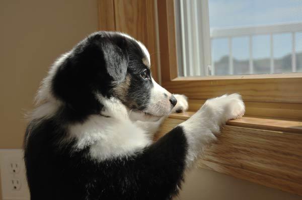 perché i cani stanno alla finestra