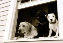 Cani alla finestra