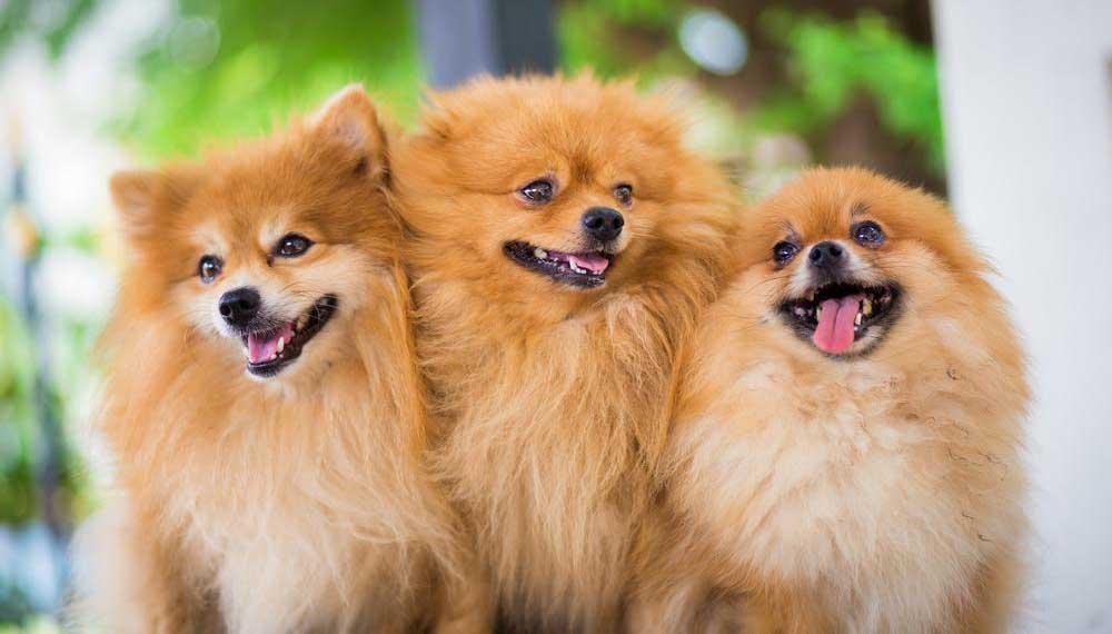 esemplari di cani pomerania