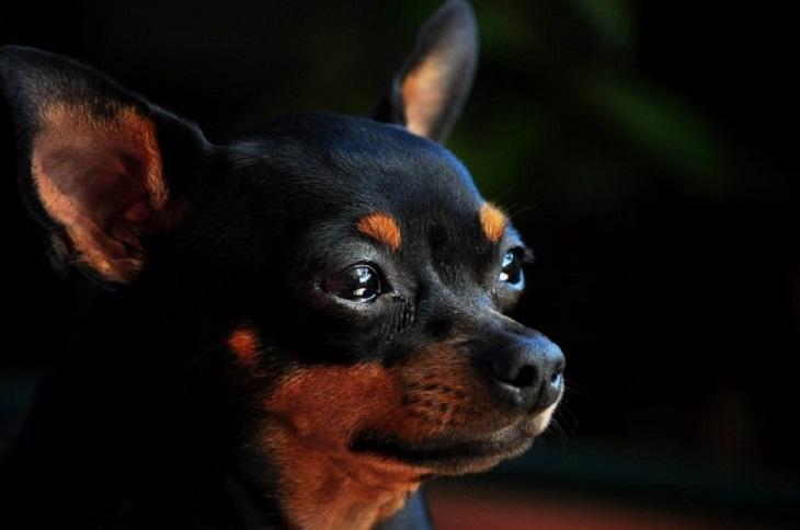puppy-cane-scomparso