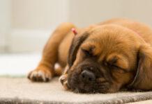cucciolo di cane da solo a casa