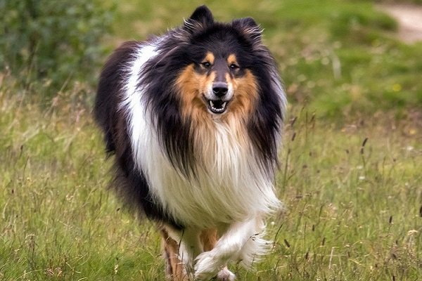 cane collie