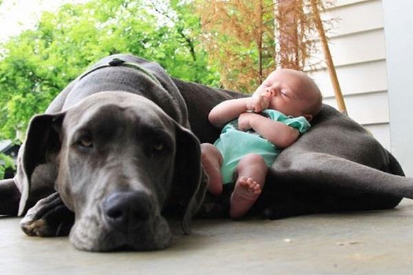 neonato dorme tra le zampe di un cane