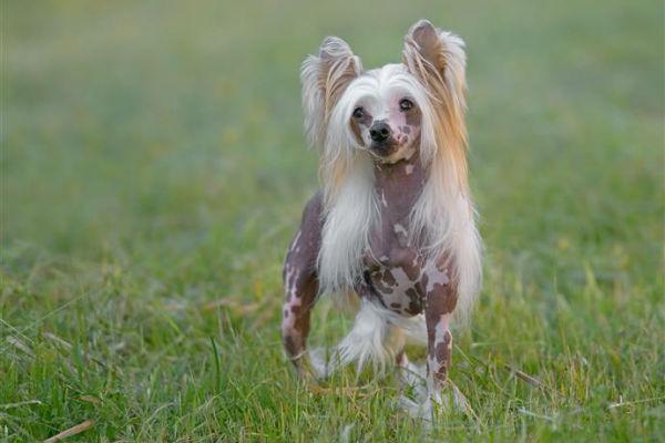 Razze di cani senza pelo: quali sono (e come comportarsi)
