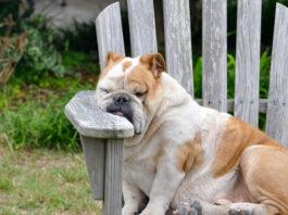 cane sulla sedia